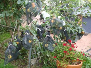 Killer Organic Persimmon Crop